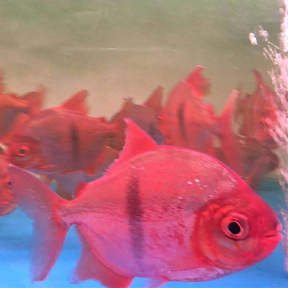 中山玫瑰银版鱼 中山水族新品 中山水族批发市场第3张