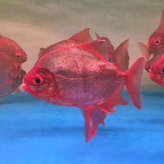 中山玫瑰银版鱼