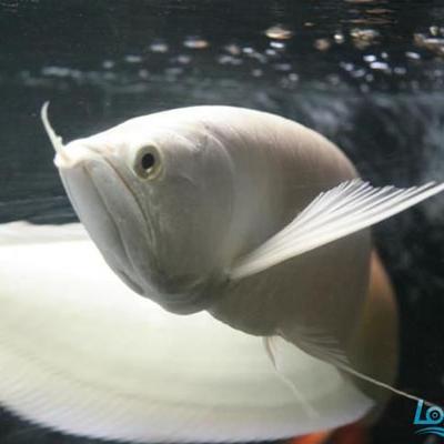 中山雪龙鱼